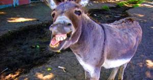 donkey, grinning, dentist, laws, Common Sense, illustration