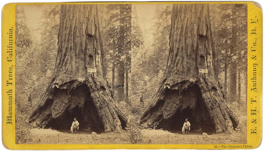 Calaveras Big Trees State Park is famous for its hollowed-at- the- trunk Pioneer Cabin Tree, a sequoia