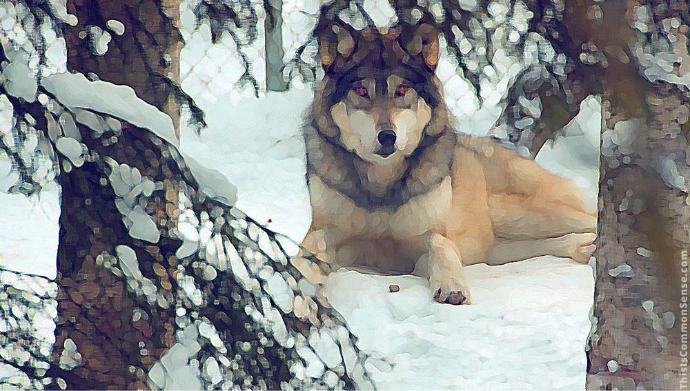 wolf, winter, global warning, climate change,